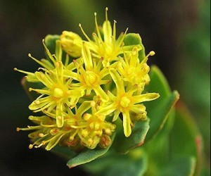 best rhodiola rosea product